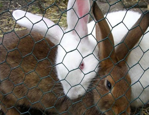 Chicken Wire Used for Rabbit Fencing